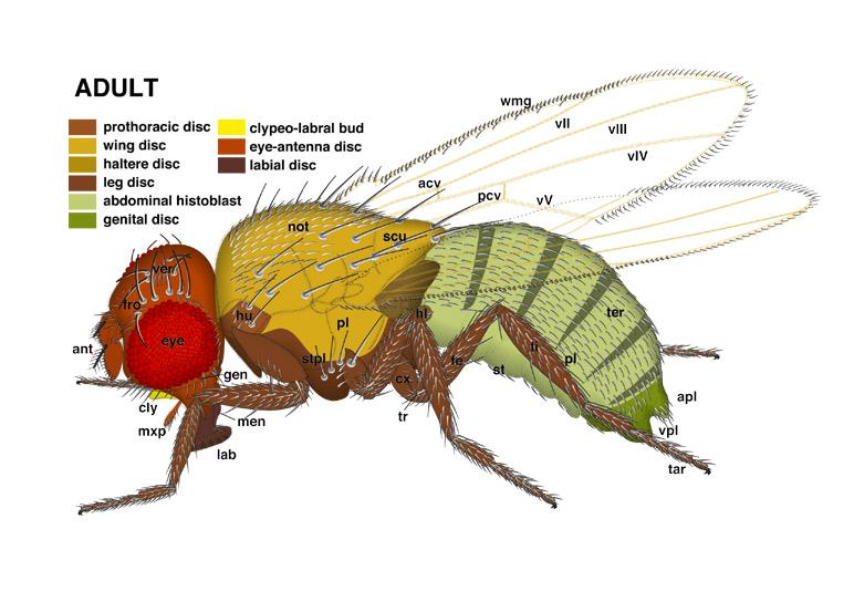 Atlas of Drosophila Development by Volker Hartenstein
