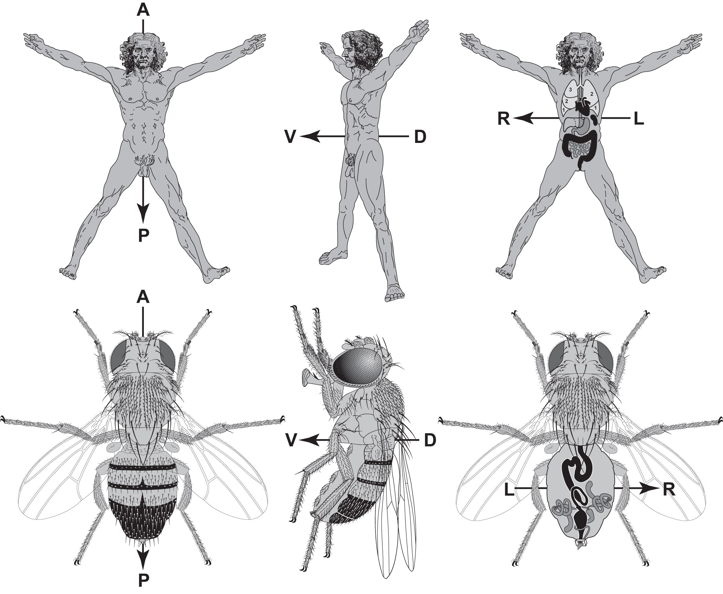 Deep Homology? Uncanny Similarities of Humans and Flies Uncovered by ...