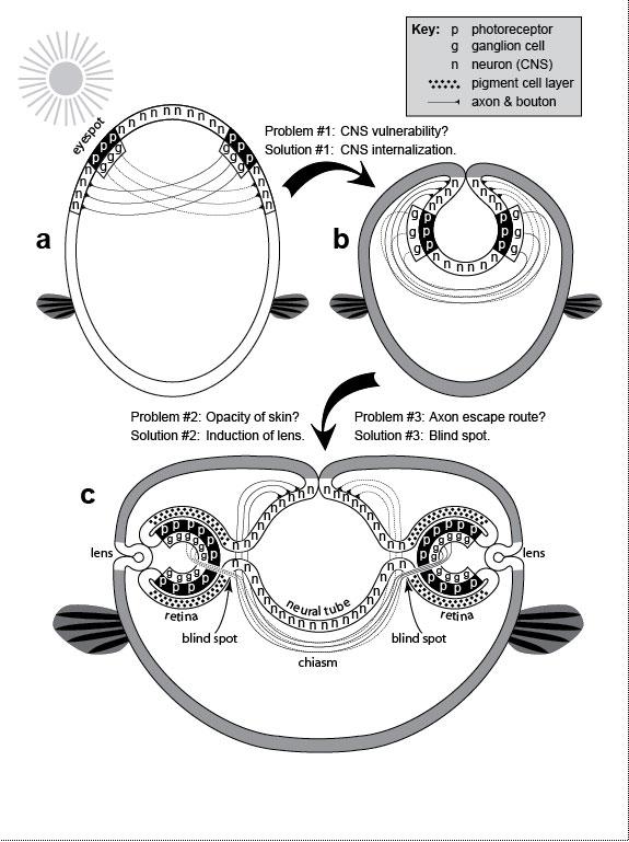 Turtle Eye Anatomy Diagram Diy Wiring Diagrams