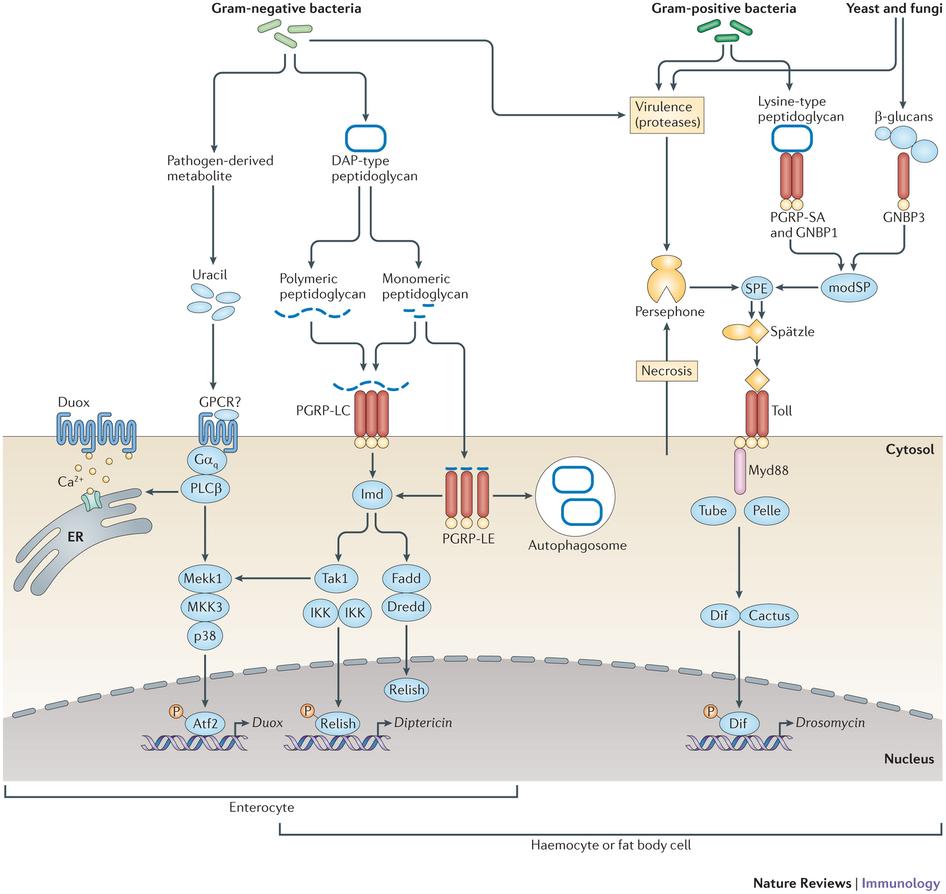Key Molecule May Tie Immune Response To >> Drosophila Gene Families Immune Response