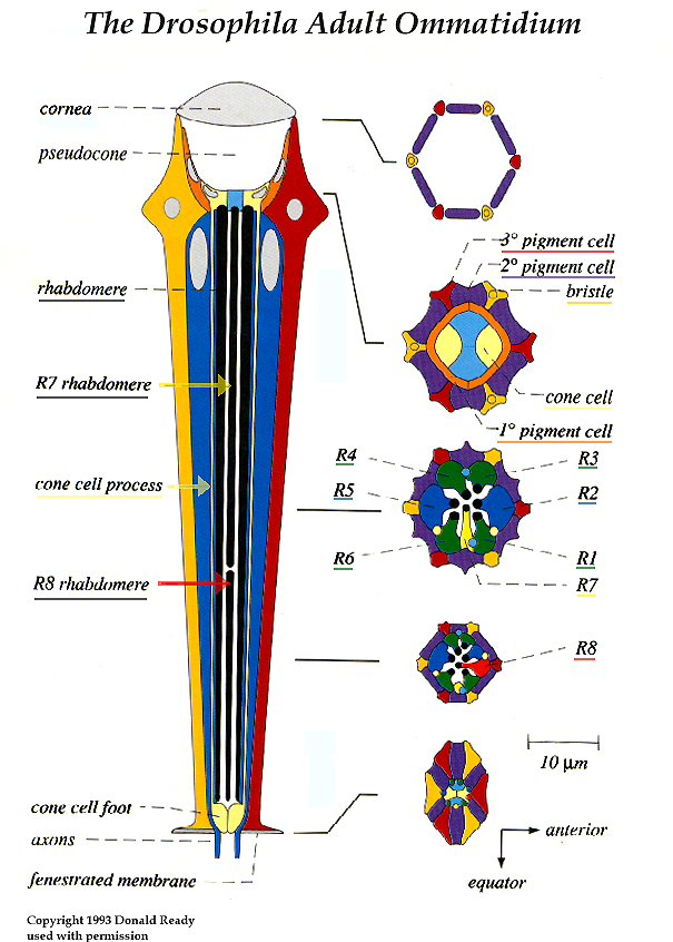 Pattern formation in the Drosophila retina
